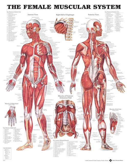 Basic Anatomy of the Muscular System – femuscleblog