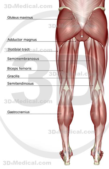 Pelvic lower body muscles diagram electrical work wiring diagram do women have stronger legs and more lower body strength than men rh femuscleblog wordpress com human leg muscle diagram human muscle diagram ccuart Choice Image
