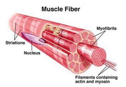 muscle_fiber_pic