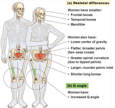Womens Skeletons Have An Increased Q Angle Along With Greater Spinal Curvature The Frontal And Temporal Bones Are Smaller In Size Women Also Shorter