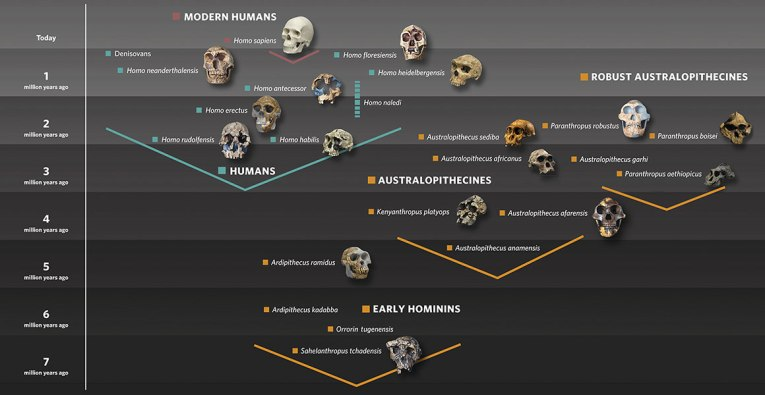human-evolution-family-tree-with-skulls-graphic-hero