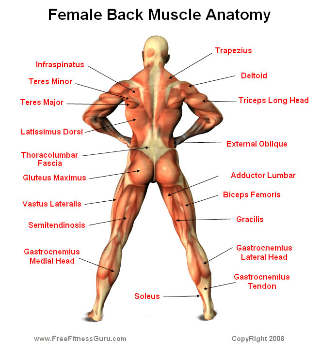Woman Body Muscle Diagram Data Wiring Diagram Today