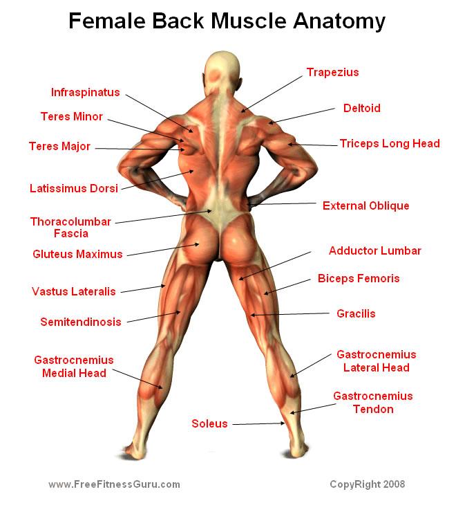 Muscular anatomy 2