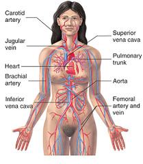heart-female