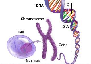ADN gene