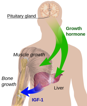 Endocrine_growth_regulation.svg
