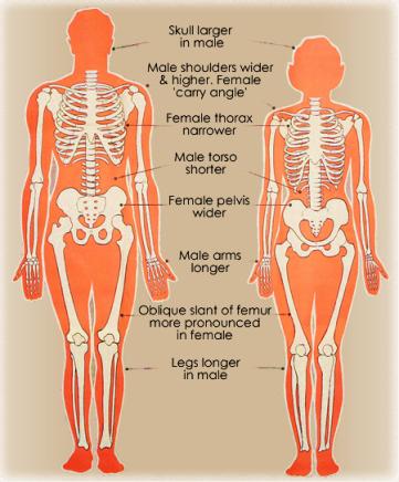 male-female_skeleton