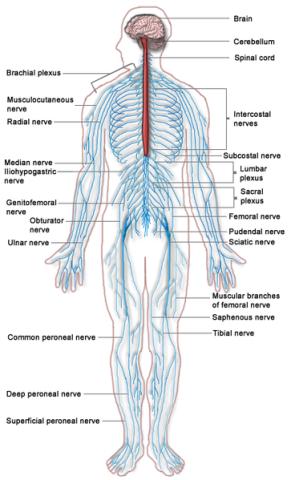 363px-Nervous_system_diagram