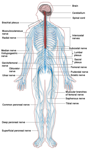 363px-Nervous_system_diagram