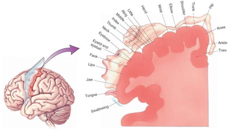 motor cortex tmp15F87what-when-how.com