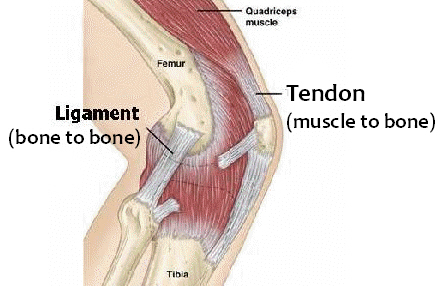 tendon-and-ligament