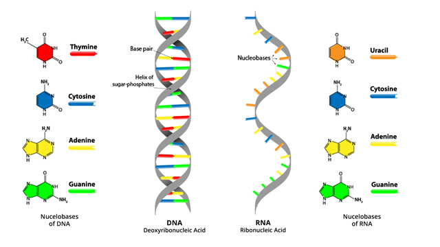 what-are-the-key-differences-between-dna-and-rna-296719