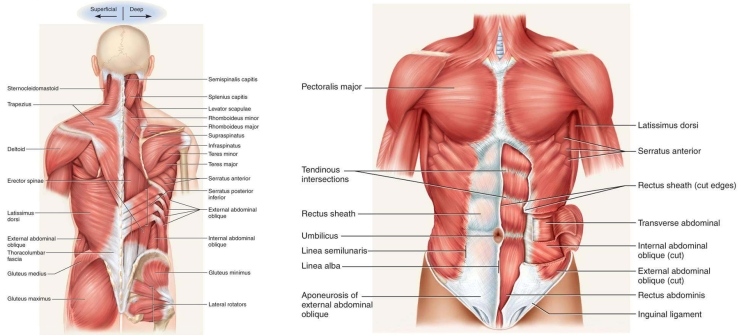 Muscles Of The Trunk 17 Best Images About Shoulder Examination On Pinterest | Magnetic