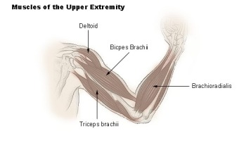 upper_extremity_muscles