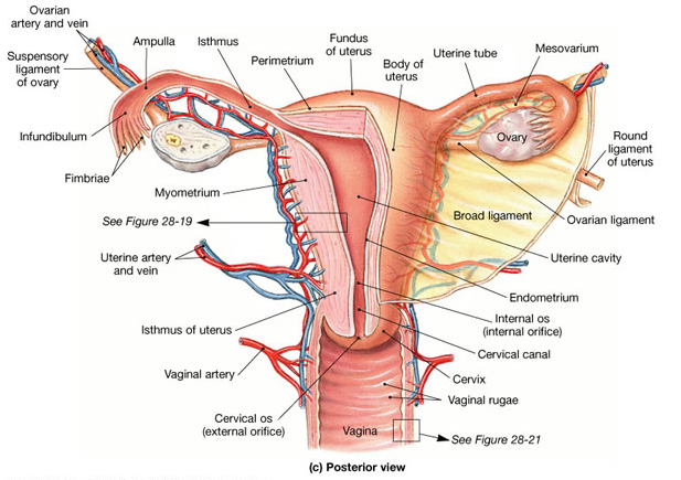 Bbc Future The Case For Renaming Womens Body Parts Femuscleblog