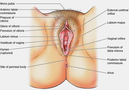 female-reproductive-organs