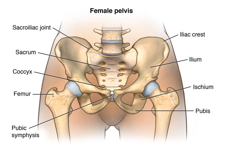 Front view of female pelvic anatomy