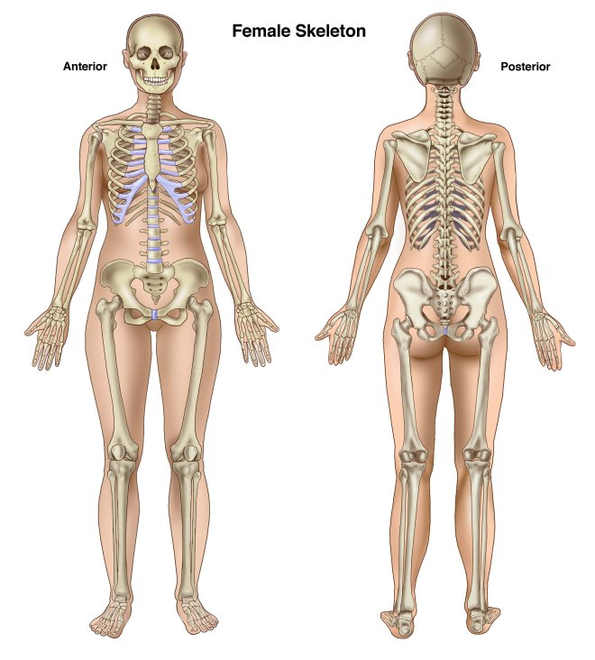 Female-skeleton-Anterior-and-posterior-copy