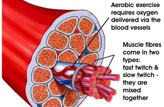 muscle_fiber_fast_slow-538x350