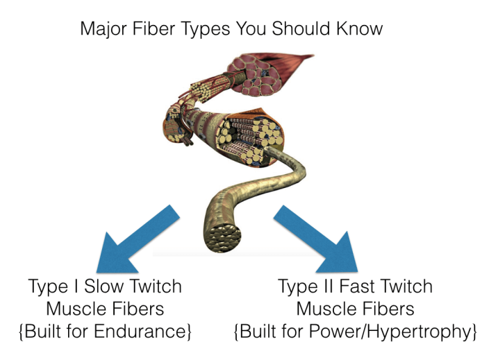 determine-muscle-fiber-type1510921448