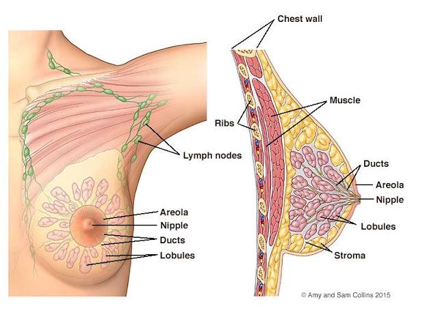 breastDiagram_labeled (1)