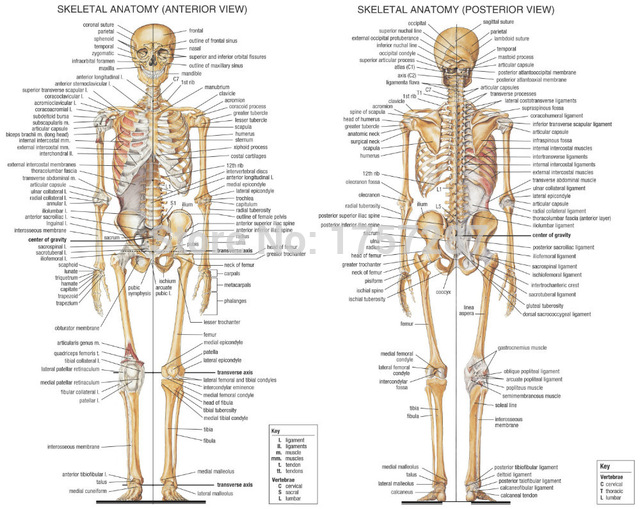 02-Skeletal-System-Anatomical-Chart-30x24-inch-Poster.jpg_640x640