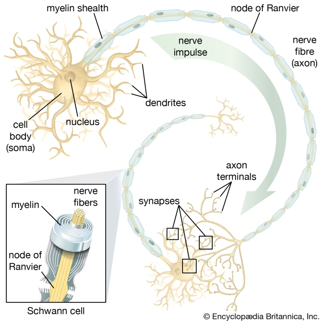 ability-neural-stem-cells-motor-neurons-rise