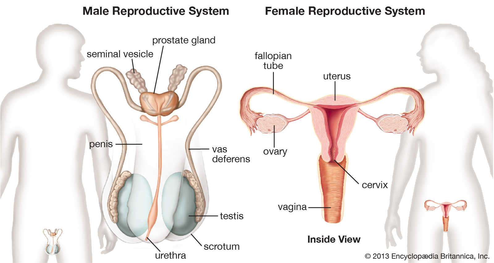 females-puberty-organs-hormones-males-reproduction-egg